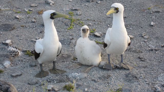 Masked Booby protecting their offspring.