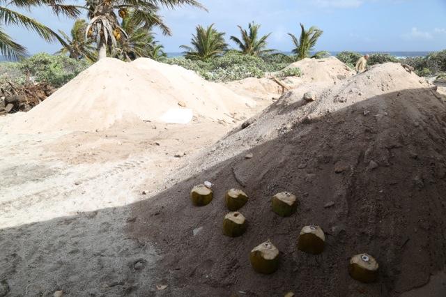 Les cocos placées à l'ombre pour préserver leur fraîcheur